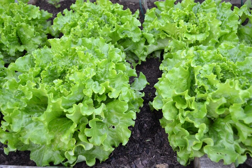 GROWING LETTUCE: A QUICK GUIDE