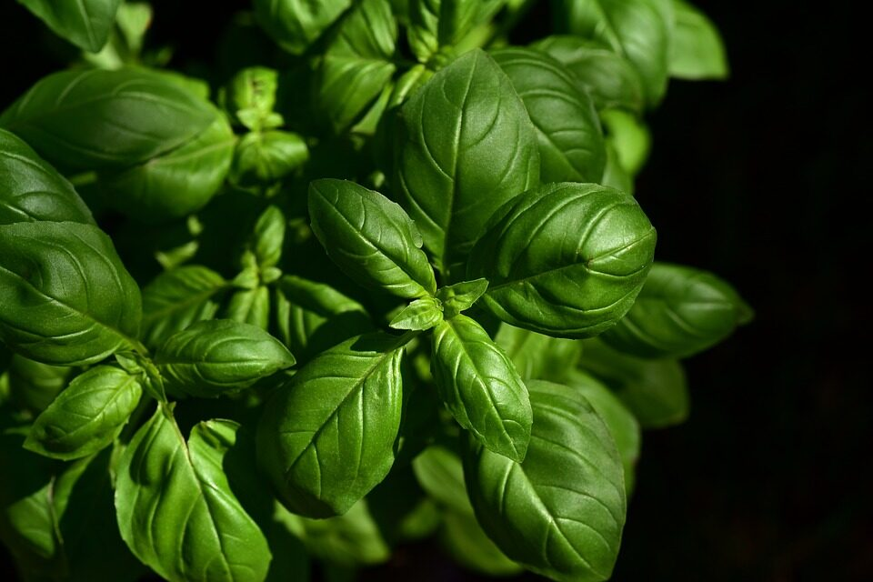 GROWING BASIL: A QUICK GUIDE