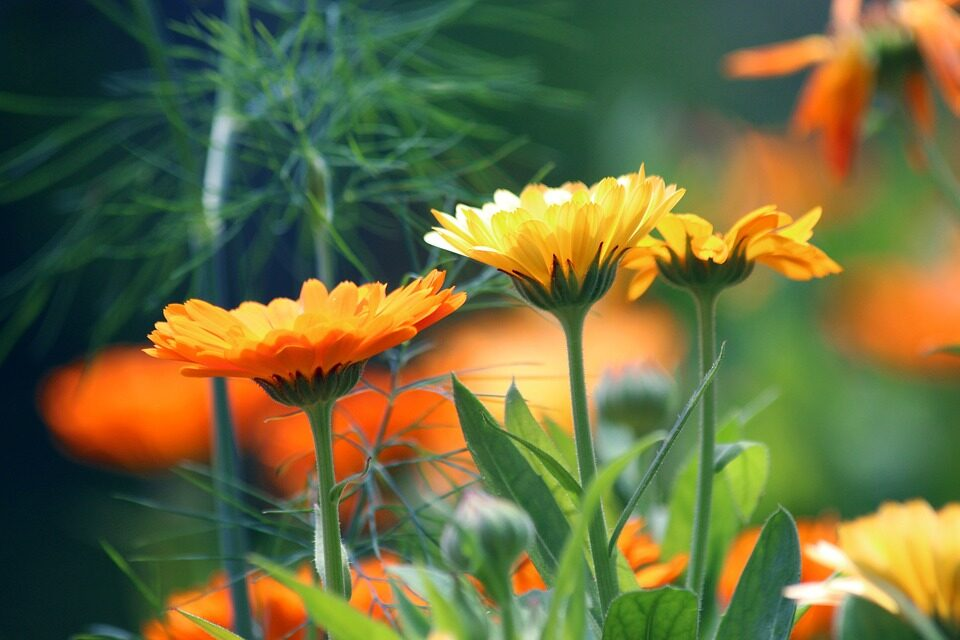 HOW TO CARE FOR MARIGOLDS: COMPLETE GUIDE