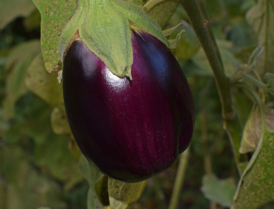 HOW TO CARE FOR EGGPLANT: QUICK GUIDE
